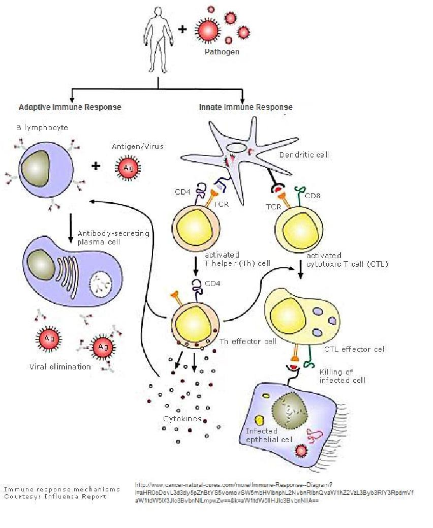 Anatomy and Physiology: Immune System